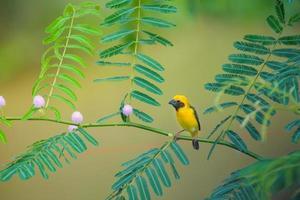 Asian Golden Weaver bird perching on branch. photo