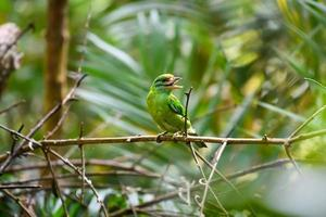 Moustached barbet bird perching on branch in tropical rainforest. photo