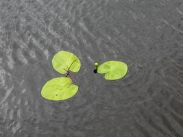 flor de lirio de agua verde foto