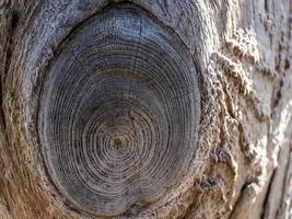 Beautiful natural wooden background. dry tree trunk.wood texture photo