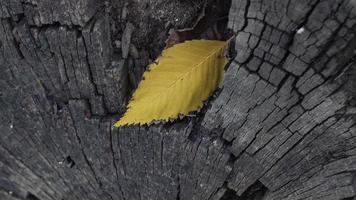 hermosa hoja amarilla en un tocón de árbol agrietado. foto