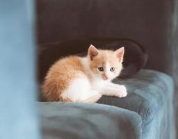 El pequeño gatito lindo y esponjoso está sentado en el sofá. gatito rojo joven foto