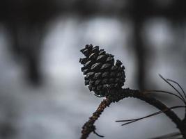 cono de pino en el árbol nevado. cono de pino en una rama foto