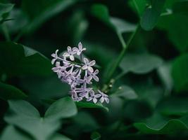 hermosas flores lilas moradas al aire libre. foto