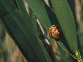 A Big Snail On A Green Leaf. Snail Crawling On Grass photo