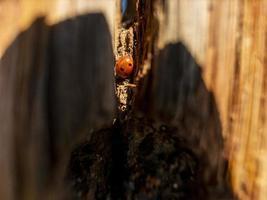 Mariquita en un tronco de árbol de madera seca contra el cielo azul foto