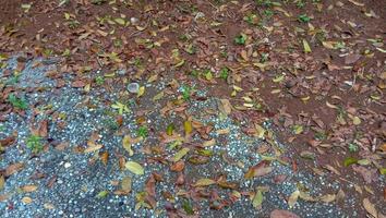 Foto de hojas de caoba cayendo sobre el suelo arenoso