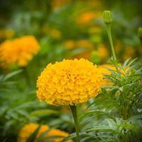 Flor de caléndula amarilla en el jardín foto