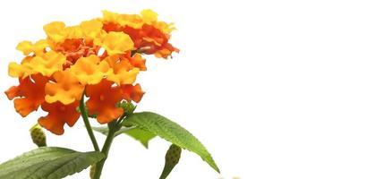 West Indian Lantana flower photo