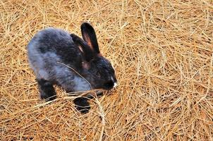 Rabbit is sitting on haystacks or dry grass photo