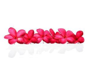 Beautiful Frangipani flowers photo