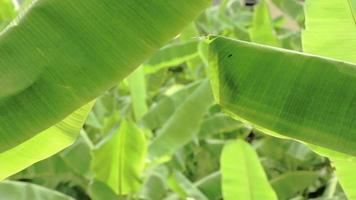 grande folha de bananeira verde, filmagem de folhas de bananeira video