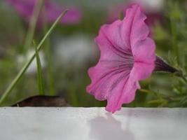 Flores de campana de trompeta rosa de ipomoea ipomoea tricolor foto