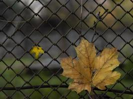 two maple leaves on the background of the fence. fall foliage photo