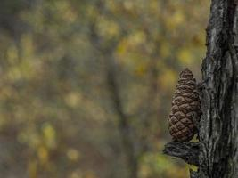 pine cone on a tree branch in the forest photo
