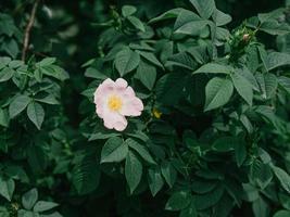 flor rosa en arbusto verde. frescura primaveral. foto