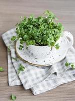 micro verdes. semillas de rábano germinadas foto