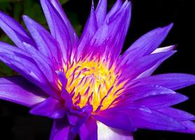 pétalo azul y polen amarillo de nenúfar foto