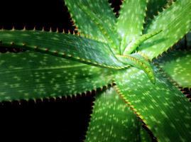 Primer plano de plantas suculentas, hojas frescas detalle de la planta de aloe foto