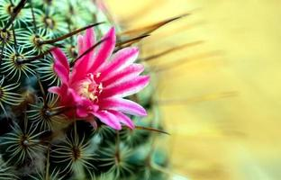 Blooming cactus with beautiful pink cactus flowers photo