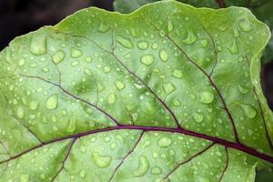 gotas de rocío sobre hojas de remolacha foto
