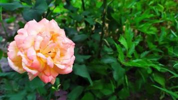 arbustos en flor en el jardín. foto