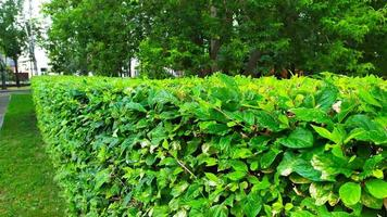 una valla hecha de arbustos verdes foto