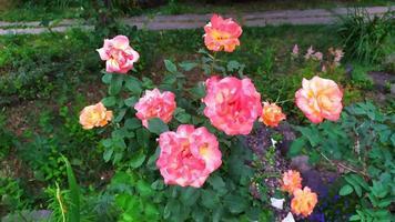 Rosal de jardín durante la floración en el jardín foto