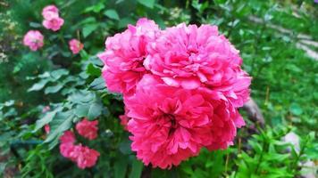 Blooming shrub in the garden in summer photo