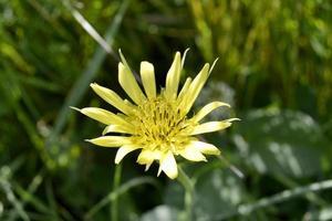 Hermosa flor de manzanilla en flor esponjosa sobre fondo de color foto