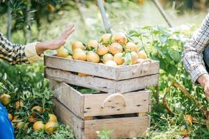 Citrus is in an orange crate in an orange garden. photo