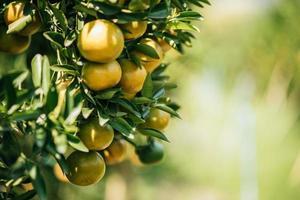 Bunch of ripe oranges hanging on a orange tree photo