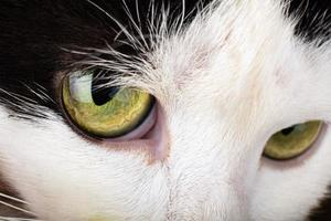 Black and white kitten with green eyes, cat sight photo