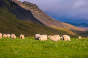 Icelandic sheep in the meadow photo