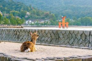 Deer and Red Torii in Miyajima photo