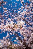 pink sakura flower against blue sky photo