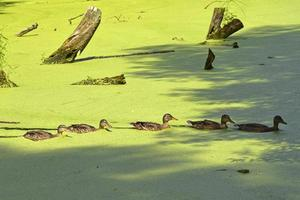 A duck family swims in an overgrown old pond photo
