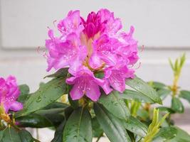 Pink Azalea flower photo