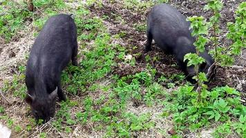 Pigs. Young black piglets graze on the farm and dig the ground with video