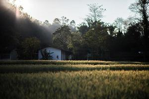 Field of wheat farm photo