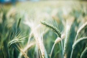 Close-up barley grain before harvesting photo