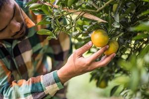 Male farmer harvests and picks oranges photo
