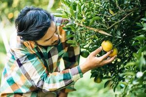 Male farmer harvesting and picking orange fruits photo