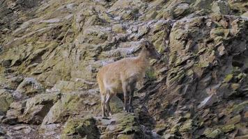 cabra salvaje en las montañas video