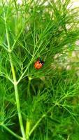 Mariquita de primer plano se sienta en un arbusto foto