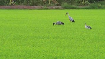 målad storkfågel som letar efter mat på fälten video