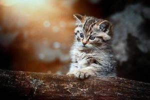 European wild cat Felis silvestris detail portrait cat kitten photo