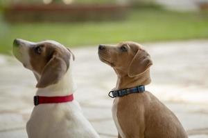 dos jóvenes jack russell terrier al aire libre mirando hacia arriba. foto