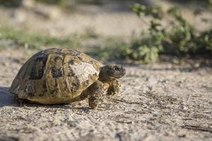 Hermann's tortoise crawling in the nature in Bulgaria. photo