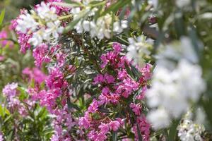 colorido jardín en una casa de verano en la isla de skopelos, grecia. foto